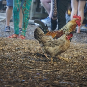 early bird tickets for Red Rooster festival 2017 now on sale